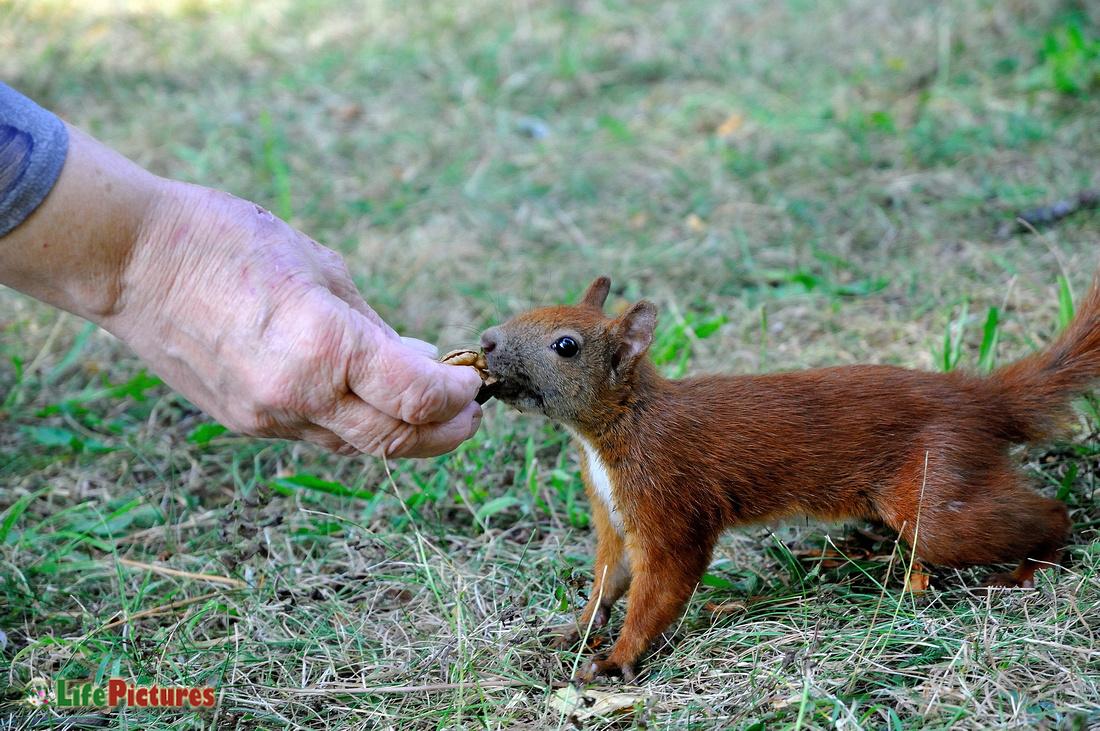 Red squirrel taking a walnut